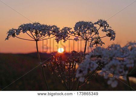 Wild Beaked Parsley In Sunset