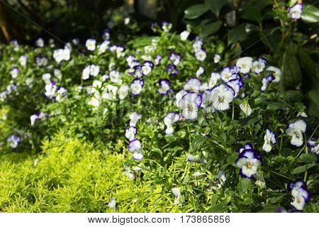 natural spring vivid floral backgroundwhite and blue viola flower surrounded by greenery sedum in park close up selective focus blurred background