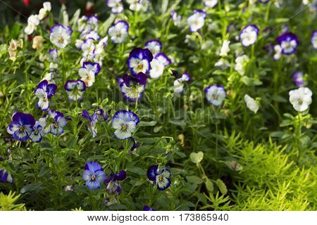 nature spring floral background white and blue viola flower in park surrounded by greenery sedum close up selective focus blurred floral background