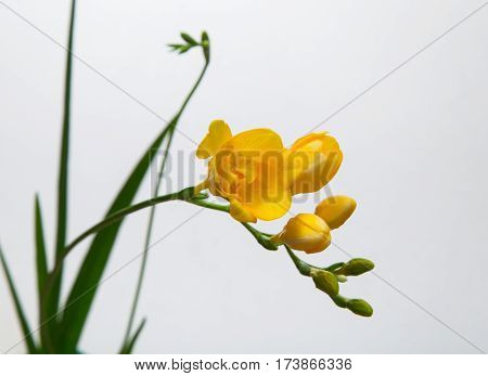 Flower spike of yellow freesia on a light background
