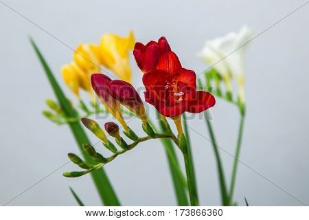 Flower spike of yellow freesia on a light background on a background of white and red freesia
