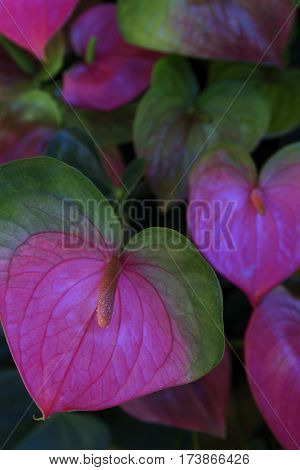 heart shape blossom of anthurium flower surrounded by green leaves close up selective focus soft focus