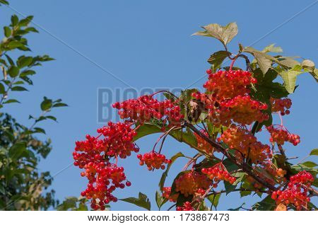 Viburnum shrub on a sunny day. Bunch of red berries of a Guelder rose.