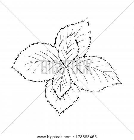 Mint peppermint fresh herb leaves plant hand drawn illustration. Sketch style. For traditional cuisine medicine treatment cooking gardening.