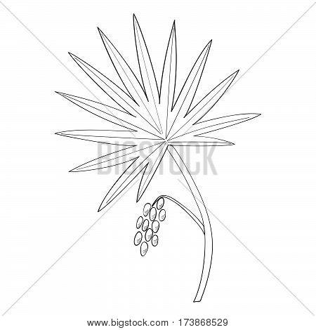 Saw Palmetto (Serenoa repens). Hand drawn botanical illustration. Medicinal tree.