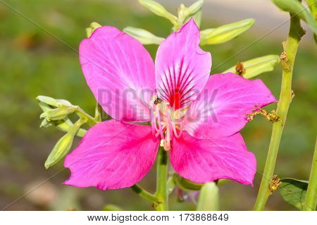 Phanera Purpurea Or Butterfly Tree Or Orchid Tree