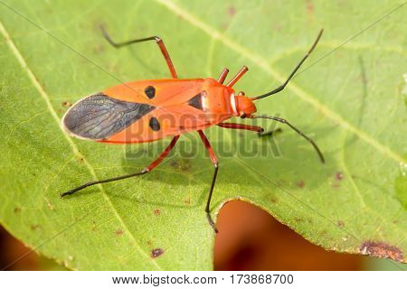 Hemiptera Or True Bugs