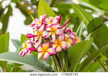 Pink Frangipani flower , Plumeria nature beauty