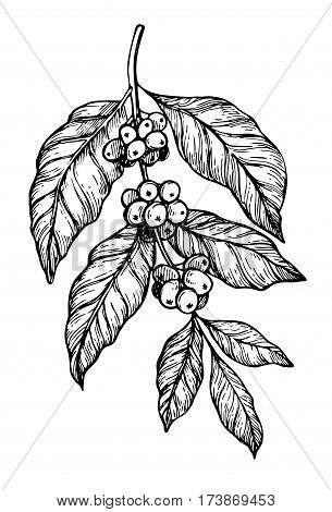 Coffee tree branch freehand pencil drawing isolated on white background vector illustration. Cafe or restaurant menu design element. Coffee plant concept, branch with leaf and bean in vintage style.