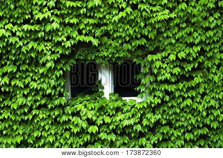 Lush Green Ivy covering windows of building