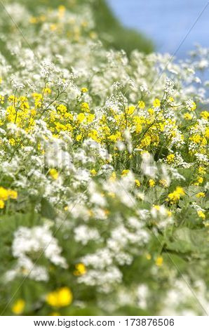 Colza Oil (brassica Rapa) And Wild Beaked Parsley (anthriscus Sylvestris)