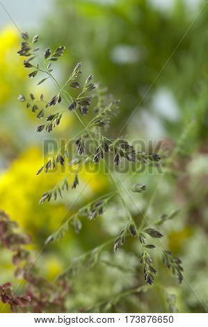 Unidentified Wild Grass