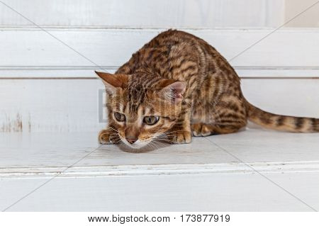 The Bengali cat was prepared to the jump on a bootyBeautiful little Bengal kitten sits on the white stairs looking at toy and playing.