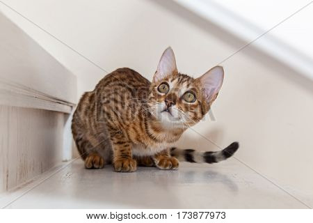 The Bengali cat lies on steps and looks in a topThe beautiful little Bengali kitten lies on white steps