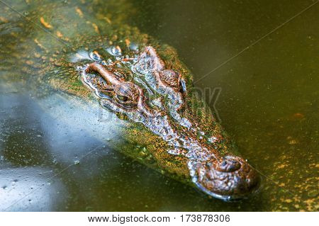 Crocodile In The Water.