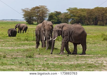 elephants graze on a pasture in Amboseli National Park