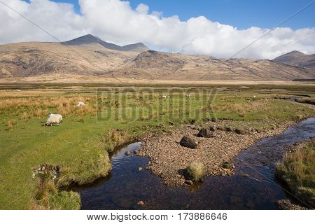 Isle of Mull Scotland UK rural country scene with view to Ben More and Glen More mountains on calm spring day with sheep