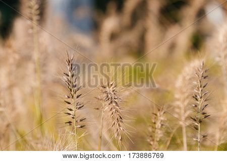Phragmites waving in the breeze,blurred background .