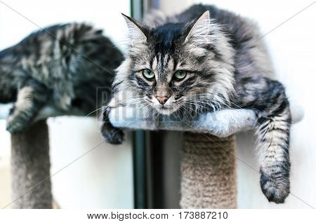 Kuril Bobtail cat with reflection in a mirror on a scratching post