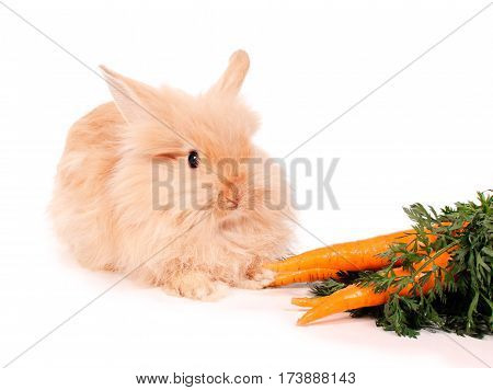 cute little red rabbit with carrots on white background