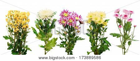 a set of four colorful fresh chrysanthemums isolated on white background
