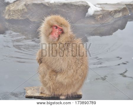 Portrait of a Japanese macaque (snow monkey) in hot spring onsen at Jigokudan Monkey Park in Nagano prefecture, Japan.