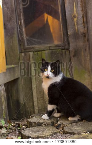 Beautiful fluffy black and white cat with yellow eyes and white whiskers sitting in yard