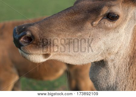 Deer fawn, young fawn is closely watching