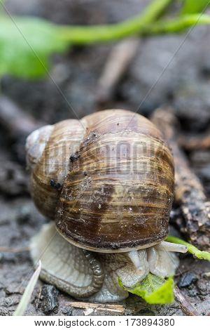 Garden Snail In The Garden Soil
