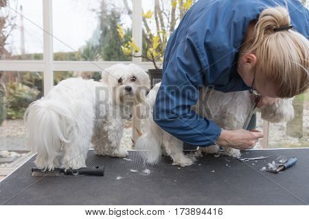 Grooming a pair of white dogs standing on the grooming table. All potential trademarks are removed. Horizontally.
