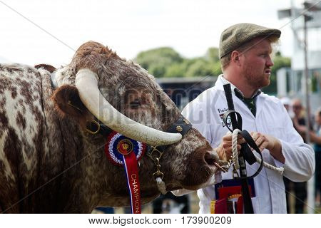 WEEDON, UK - SEPTEMBER 1: A handler holds a large bull steady for the public to view during the Grand Livestock parade at the Bucks County Show on September 1, 2016 in Weedon