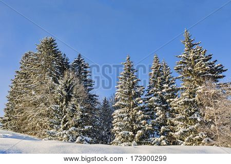 Forest covered by snow in winter against a blue sky