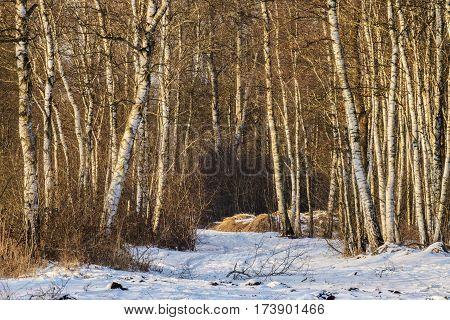 Birch Forest In Winter