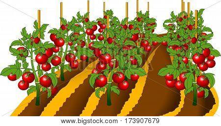 Vector - Illustration showing the parts of a tomato plant