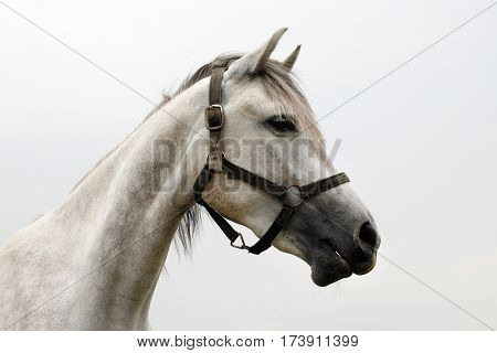 Portrait of a thoroughbred gray arabian stallion. Closeup of a young purebred horse. Purebred young shagya arabian horse posing against white background