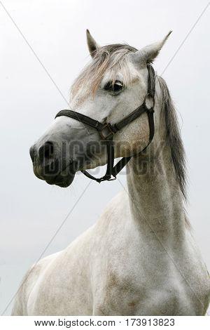 Purebred young shagya arabian horse posing against white background
