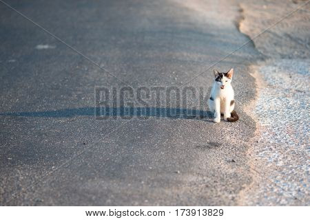 Tricolor cat in the road in Greece