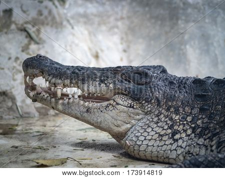 Close up to face of crocodile on concrte ground