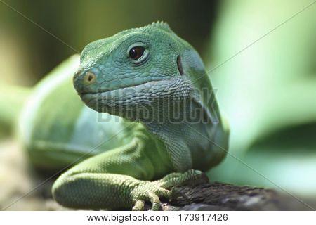 Subjected Fijian iguana. Little green Reptile from Fiji.