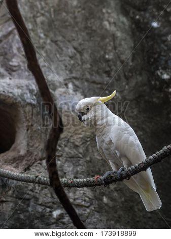 close up of lesser sulphur crested cockatoo