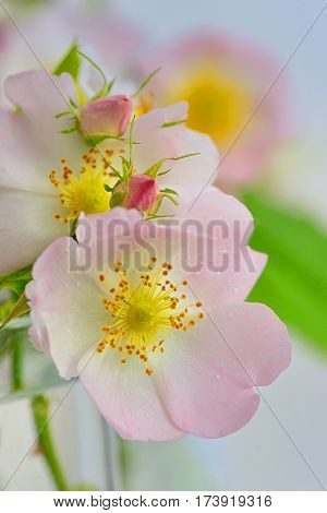 Close-up of a dog rose Rosa canina in vase