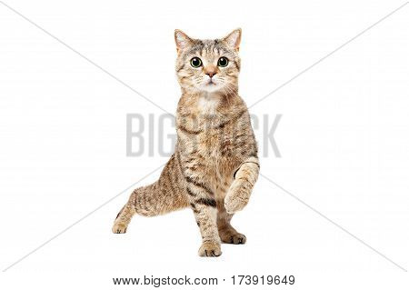 Funny cat Scottish Straight dancing isolated on white background