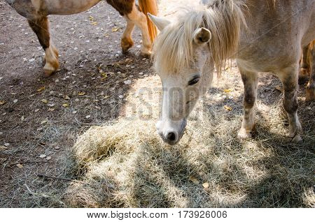 Miniature Horse or Dwarf Hores Eating Grass in Farm.