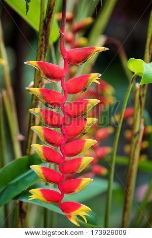 Heliconia Flower, Nosy Be, Madagascar