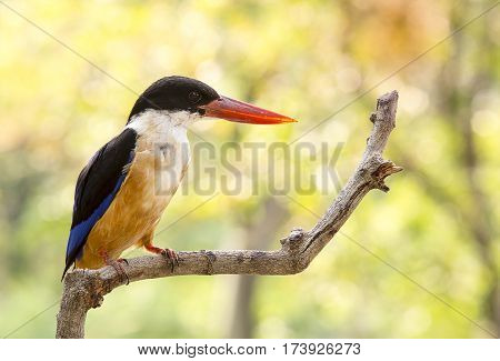 close up beautiful Kingfisher bird on tree in tropical forest nature reserve concept