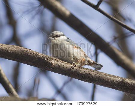 Eurasian or wood nuthatch Sitta europaea close-up portrait on tree selective focus shallow DOF