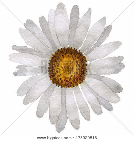 Wildflower chamomile flower in a watercolor style isolated. Full name of the plant: white chamomile. Aquarelle wild flower for background, texture, wrapper pattern, frame or border.