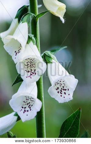White foxgloves flowers closeup in summer garden
