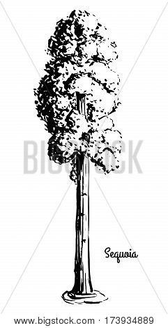 Vector sketch illustration. Black silhouette of Sequoia isolated on white background.