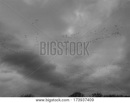 A large flock of birds flying in formation